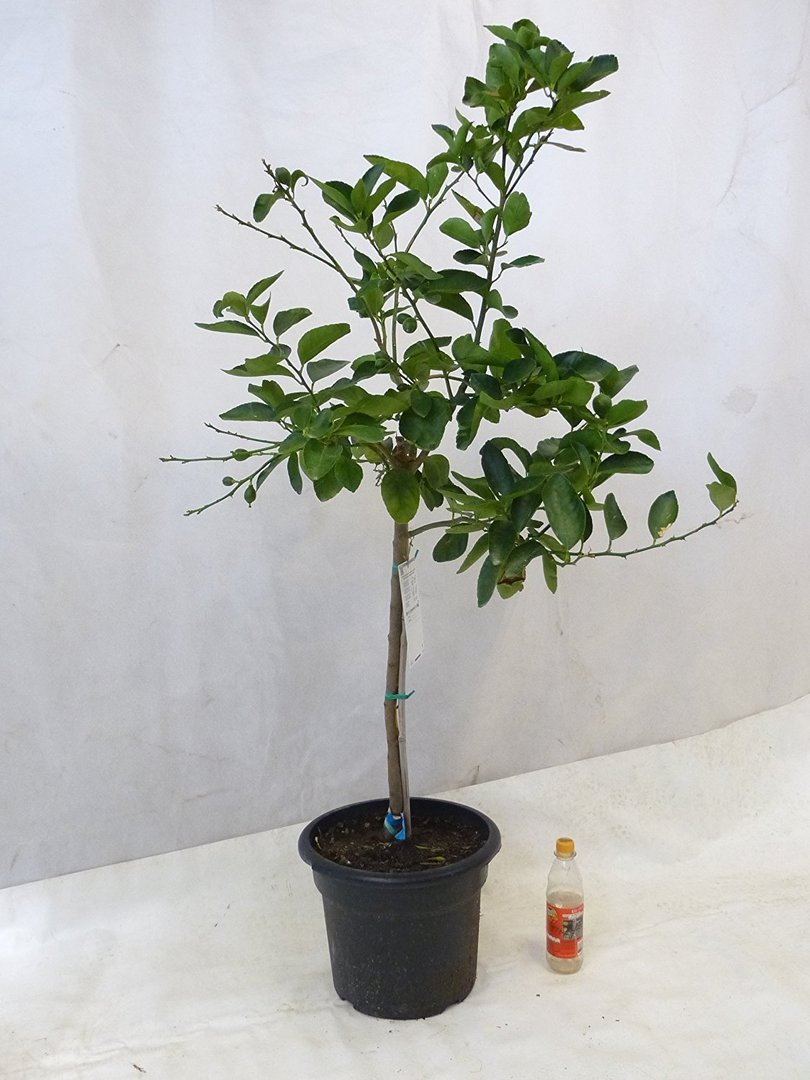 citrus aurantifolia echter limettenbaum 150 cm. Black Bedroom Furniture Sets. Home Design Ideas