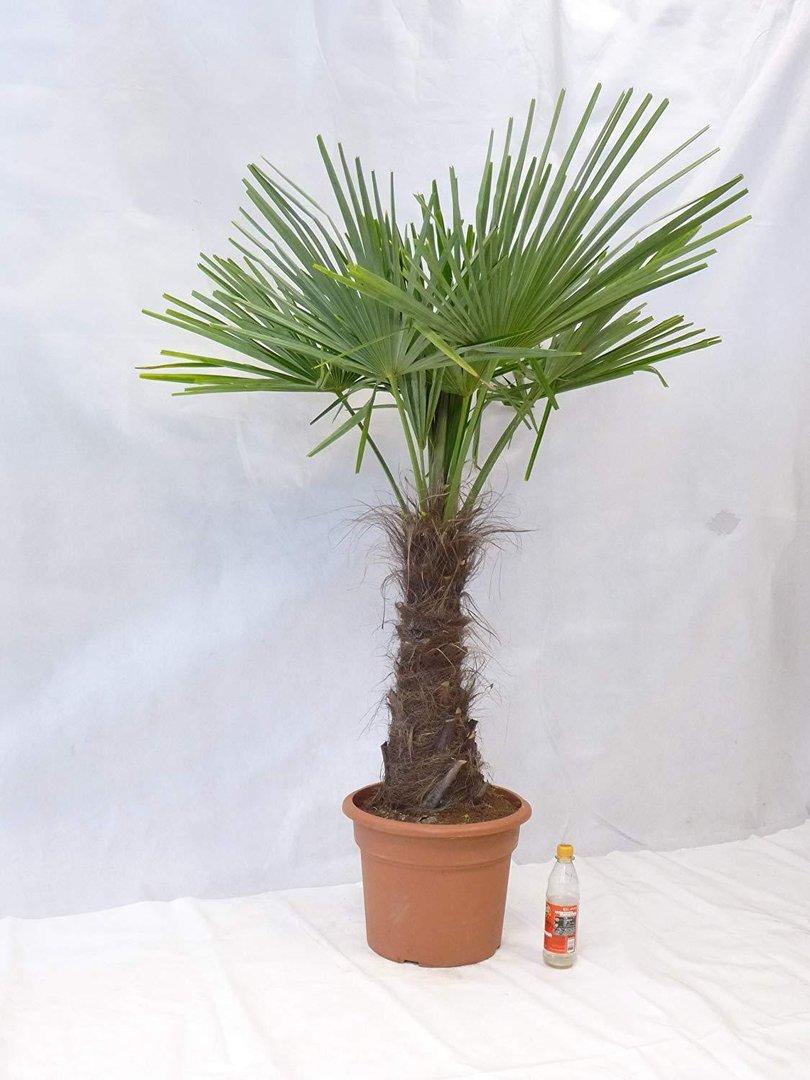 winterharte palme trachycarpus fortunei 180 cm stamm 60 cm chinesische hanfpalme 17 c. Black Bedroom Furniture Sets. Home Design Ideas