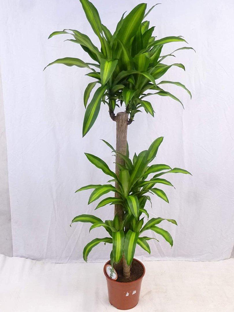 dracaena fragrans steudneri 3er tuff 190 cm. Black Bedroom Furniture Sets. Home Design Ideas