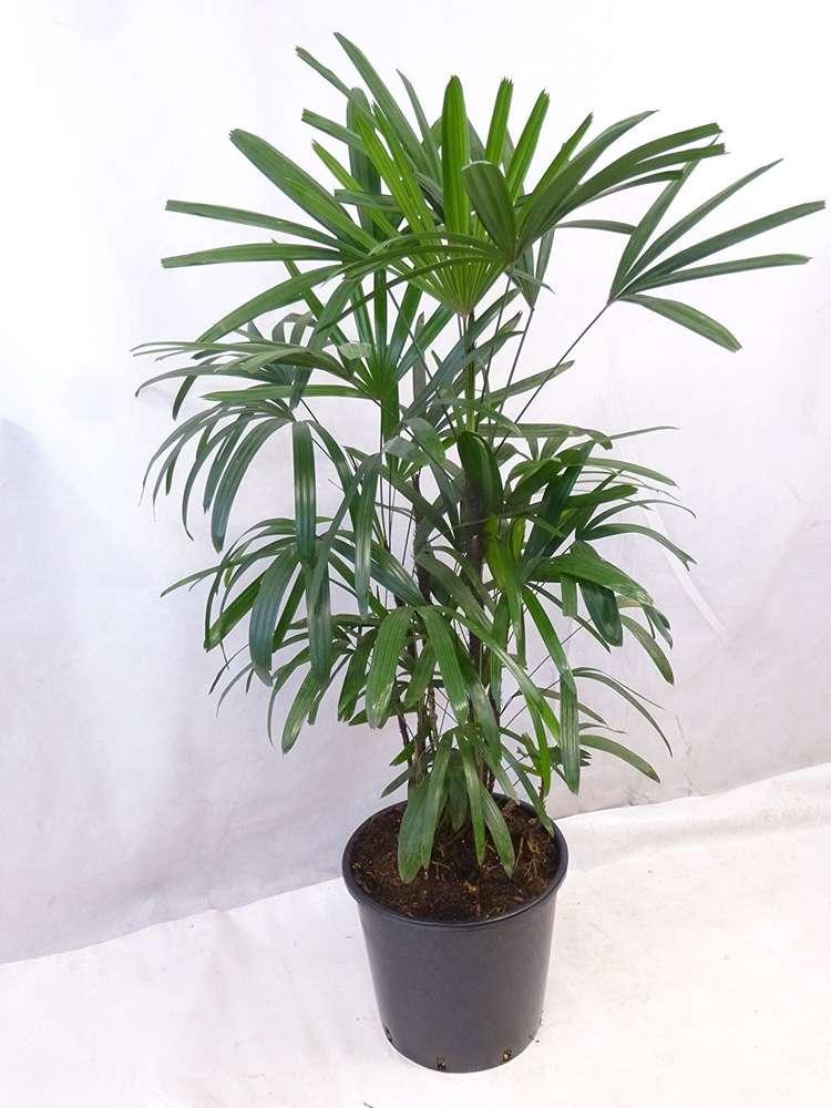 rhapis excelsa steckenpalme 140 cm zimmerpflanze zimmerpalme auch fur dunklere ecken