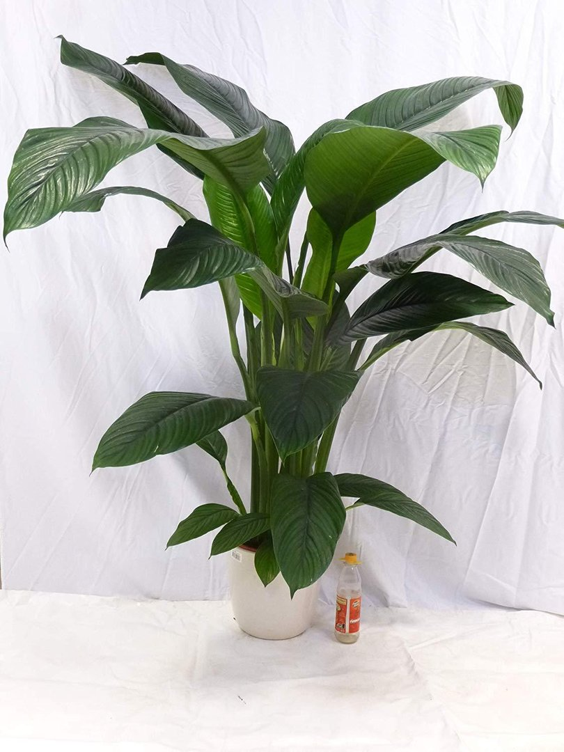 spathiphyllum sensation einblatt mit bl te ca 150 cm zimmerpflanze. Black Bedroom Furniture Sets. Home Design Ideas