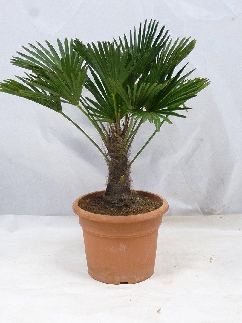 trachycarpus wagnerianus winterharte palme 110 cm. Black Bedroom Furniture Sets. Home Design Ideas