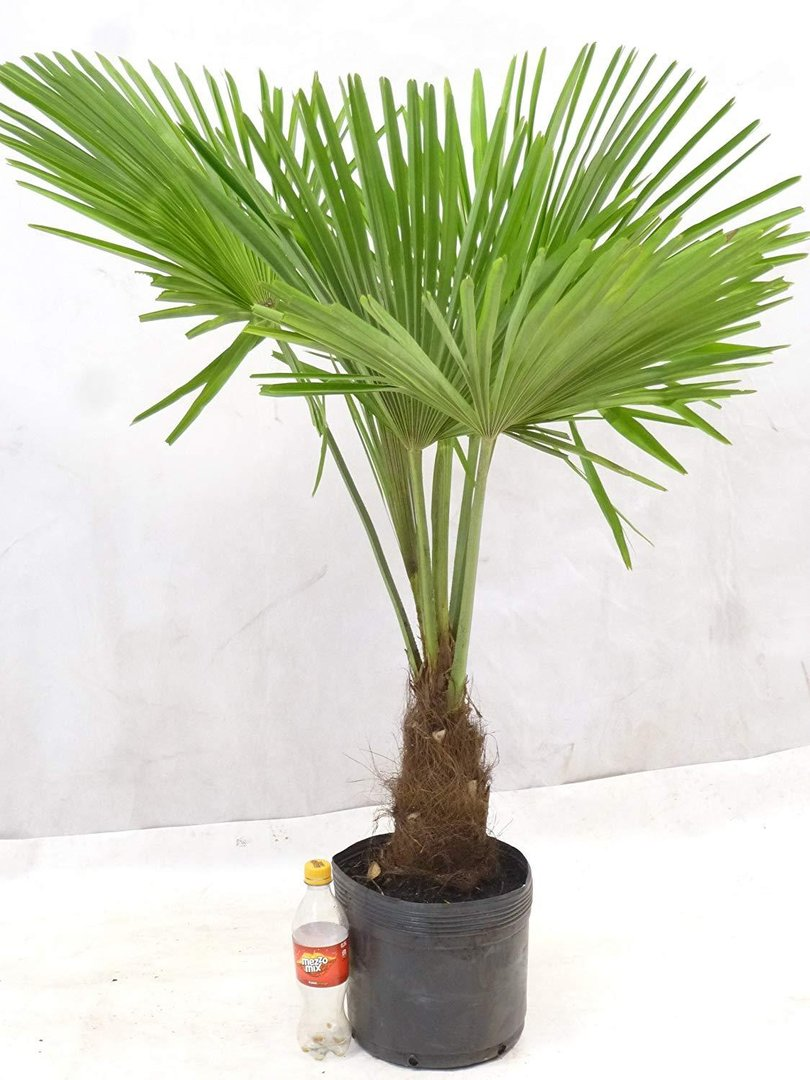 trachycarpus fortunei chin hanfpalme 150 cm stamm 30 cm winterhart 17 c. Black Bedroom Furniture Sets. Home Design Ideas