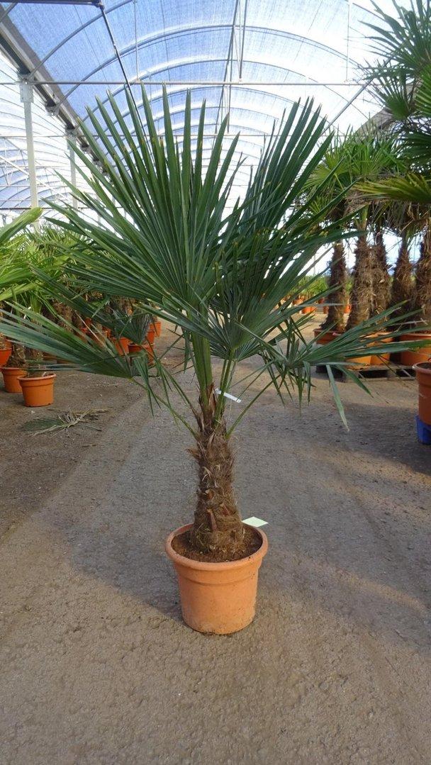 winterharte palme trachycarpus fortunei chinesische hanfpalme 180 cm stamm 60 cm. Black Bedroom Furniture Sets. Home Design Ideas