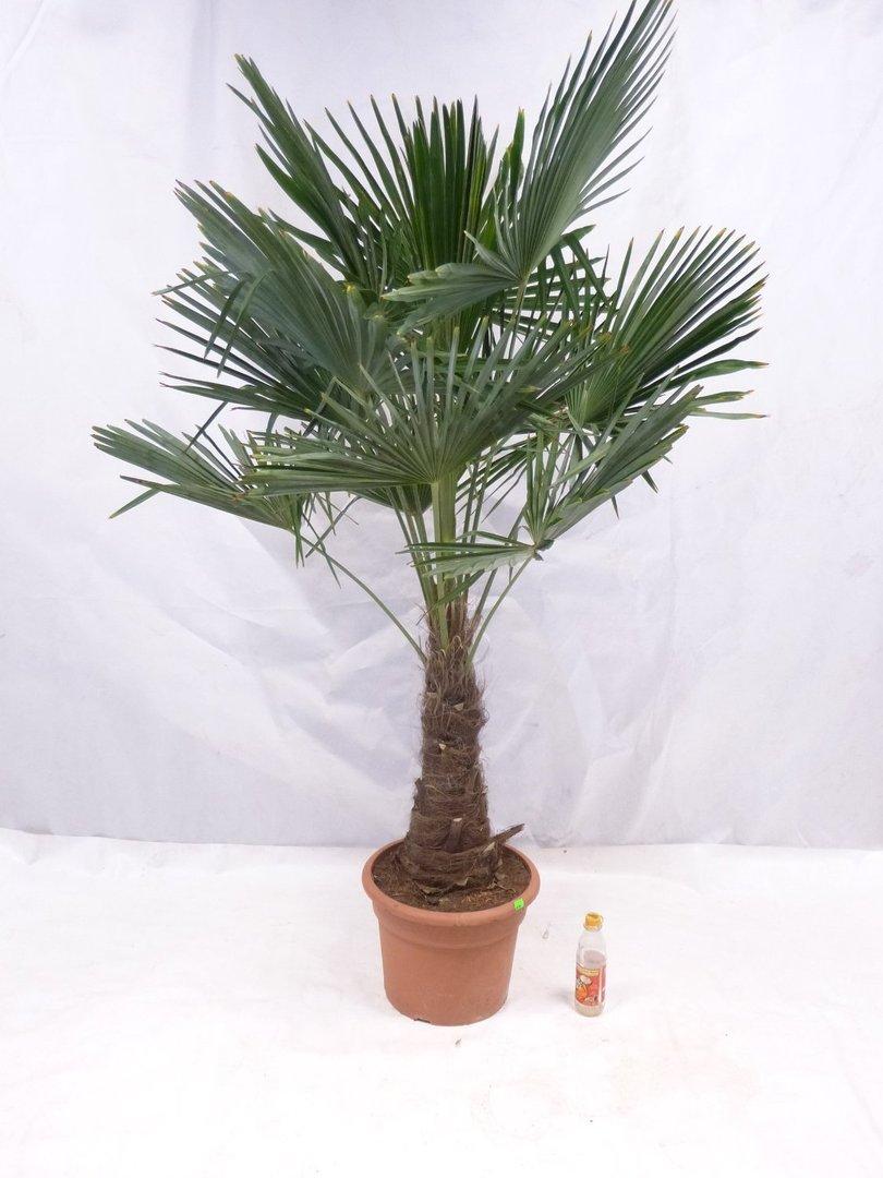 winterharte palme trachycarpus fortunei chinesische. Black Bedroom Furniture Sets. Home Design Ideas