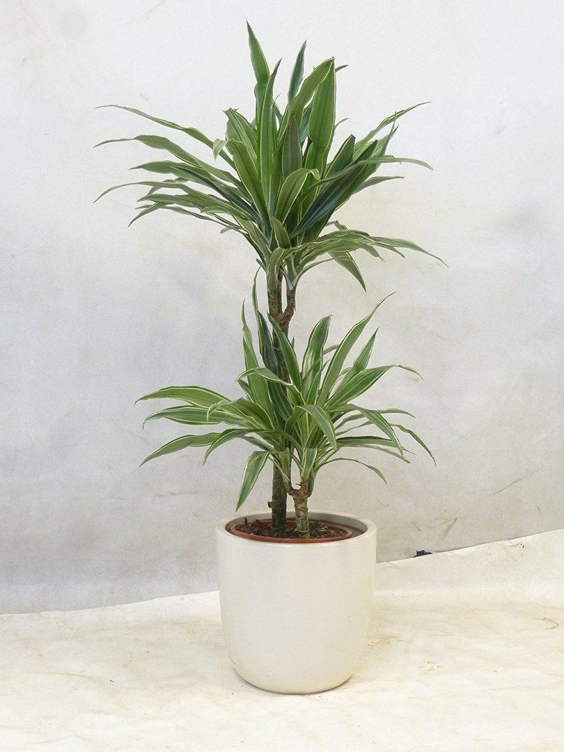 Dracaena de warneckei 2er tuff 95 cm drachenbaum for Drachenbaum zimmerpflanze