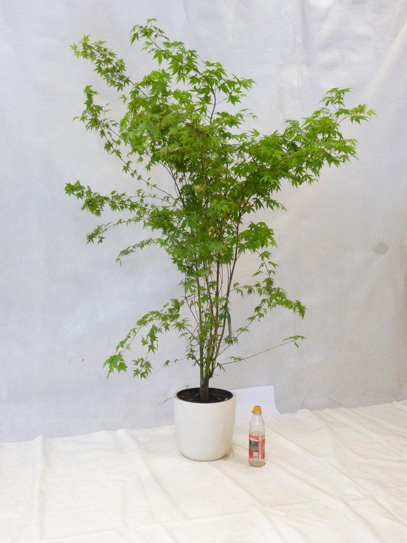 japanischer ahorn acer palmatum 170 cm f cherahorn. Black Bedroom Furniture Sets. Home Design Ideas