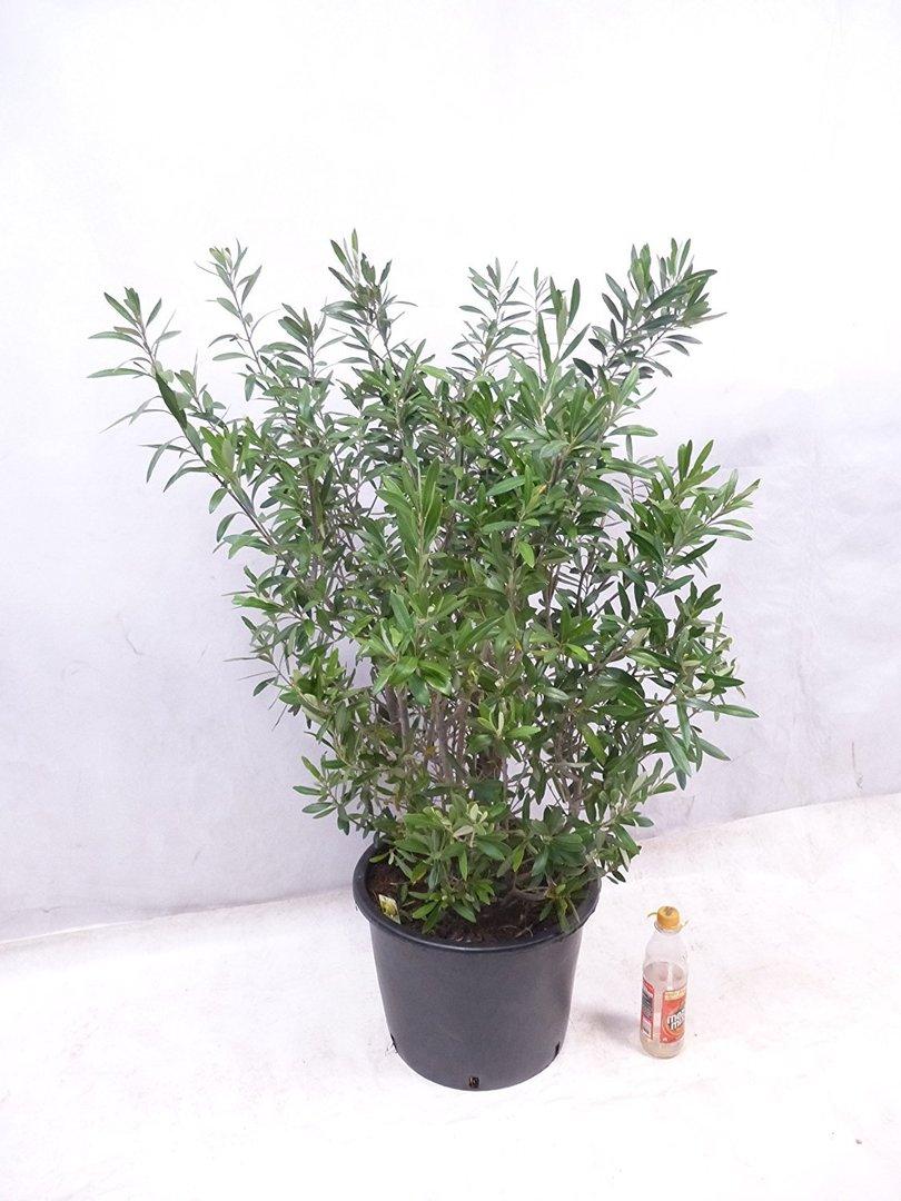olivenbaum olea europea busch 120 cm. Black Bedroom Furniture Sets. Home Design Ideas