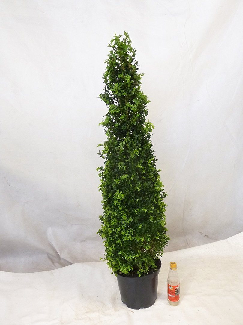 buxus sempervierens buchsbaum formschnitt kegel pyramide 130 140 cm. Black Bedroom Furniture Sets. Home Design Ideas